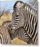 Zebra Bite Of Love Metal Print by Hermanus A Alberts