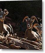 Zion National Park Mountain Sheep Checkerboard Mesa Utah Metal Print by Robert Ford