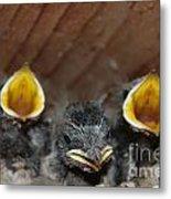Raising Baby Birds  Www.pictat.ro Metal Print by Preda Bianca Angelica