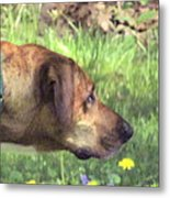 Sighthound At Work Metal Print by Patty Gross
