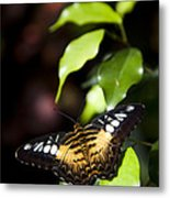 A Butterfly Perches On A Leaf Metal Print by Taylor S. Kennedy