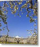 Apple Blossom Trees In Hood River Metal Print by Craig Tuttle