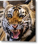 Bengal Tiger (panthera Tigris) Metal Print by Louise Murray