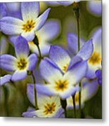 Blue Quaker Ladies Metal Print by Thomas J Martin