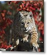 Bobcat Felis Rufus Walks Along Branch Metal Print by David Ponton