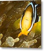 Clarks Anemonefish Among An Anemones Metal Print by Tim Laman