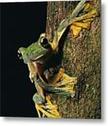 Close View Of A Wallaces Flying Frog Metal Print by Tim Laman