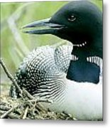Common Loon, La Mauricie National Park Metal Print by Philippe Henry