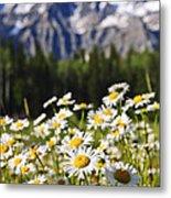 Daisies At Mount Robson Provincial Park Metal Print by Elena Elisseeva