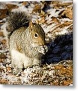 Eastern Gray Squirrel Sciurus Metal Print by Tim Laman