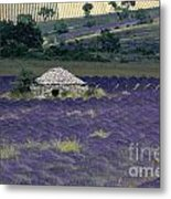 Field Of Lavender. Sault Metal Print by Bernard Jaubert