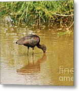 Glossy Ibis  Metal Print by Kathy Gibbons