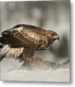 Golden Eagle Metal Print by Andy Astbury