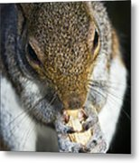 Grey Squirrel Metal Print by Georgette Douwma