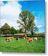 Hereford Bullocks Metal Print by The Irish Image Collection