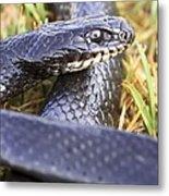 Large Whipsnake (coluber Jugularis) Metal Print by Photostock-israel