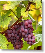 Pinot Noir Grapes Metal Print by Jeremy Walker