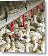 Turkey Farming Metal Print by Photostock-israel