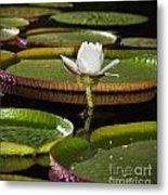Water Lily Metal Print by Johan Larson