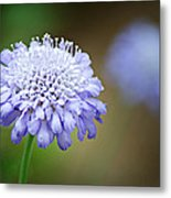 1205-8794 Butterfly Blue Pincushion Flower Metal Print by Randy Forrester