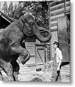 Bill Snyder, Elephant Trainer Metal Print by Everett