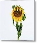 Close Up Of Sunflower. Metal Print by Bernard Jaubert