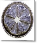 Fossil Diatom, Light Micrograph Metal Print by Frank Fox