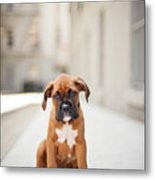 2 Month Old Boxer Puppy Standing In Alley Metal Print by Diyosa Carter
