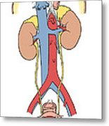 Illustration Of Female Urinary System Metal Print by Science Source