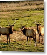 3 Magnificent Bull Elk Metal Print by Cindy Wright
