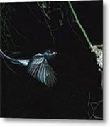 Madagascar Paradise Flycatcher Metal Print by Cyril Ruoso
