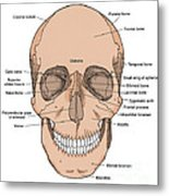 Illustration Of Anterior Skull Metal Print by Science Source