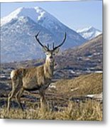 Red Deer Stag Metal Print by Duncan Shaw