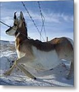 A Barbed Wire Fence Is An Obstacle Metal Print by Joel Sartore