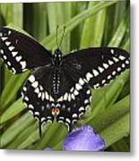 A Black Swallowtail Butterfly, Papilio Metal Print by George Grall