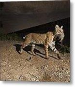 A Bobcat Crosses A Rio Grande Border Metal Print by Joel Sartore