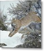 A Bobcat Leaps With A Horned Lark Metal Print by Michael S. Quinton