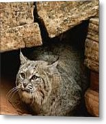 A Bobcat Pokes Out From Its Alcove Metal Print by Norbert Rosing