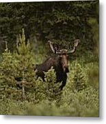 A Bull Moose Stops For A Photograph Metal Print by Raymond Gehman