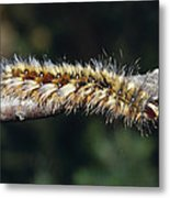 A Caterpillar In Defensive Posture Metal Print by Jason Edwards