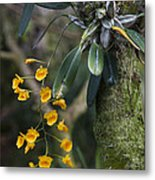 A Close View Of A Beautiful Dendrobium Metal Print by Taylor S. Kennedy