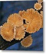 A Common Split Gill Mushrooms Sit Metal Print by Darlyne A. Murawski
