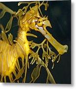 A Diminutive Leafy Sea Dragon Metal Print by Jason Edwards