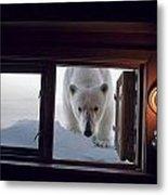 A Female Polar Bear Peering Metal Print by Paul Nicklen