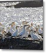 A Flock Of Gannets Standing On A Rock Metal Print by John Short
