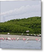 A Flock Of Juvenile And Adult Roseate Metal Print by Tim Laman