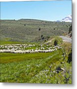 A Flock Of Sheep 2 Metal Print by Philip Tolok