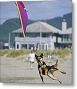 A German Shepherd Leaps For A Kite Metal Print by Phil Schermeister