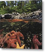 A Group Of Ochre Sea Stars Clustered Metal Print by Bill Curtsinger