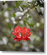 A Hibiscus Schizopetalus Flowers Metal Print by Taylor S. Kennedy